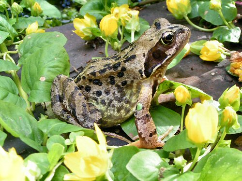 Frog with creeping jenny