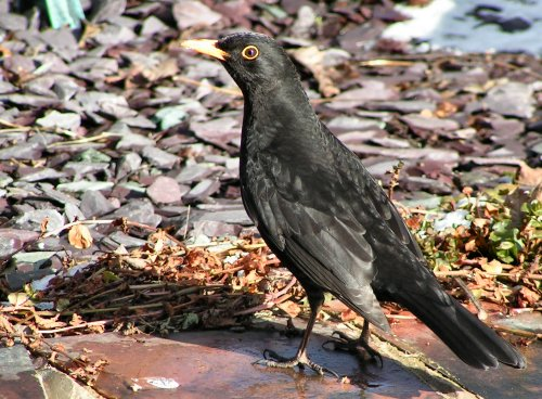 Male blackbird on pond-side