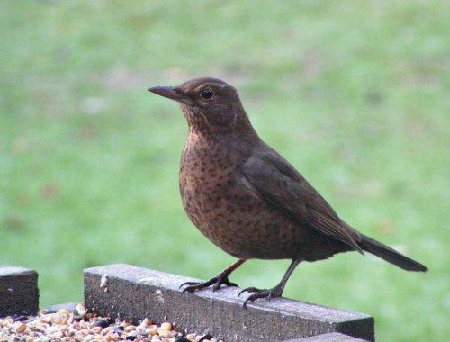 Female blackbird on bird table