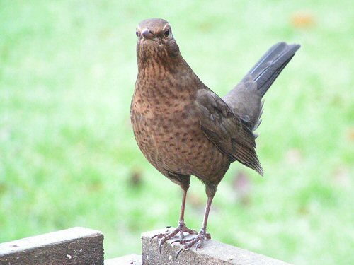Female blackbird at a bird table