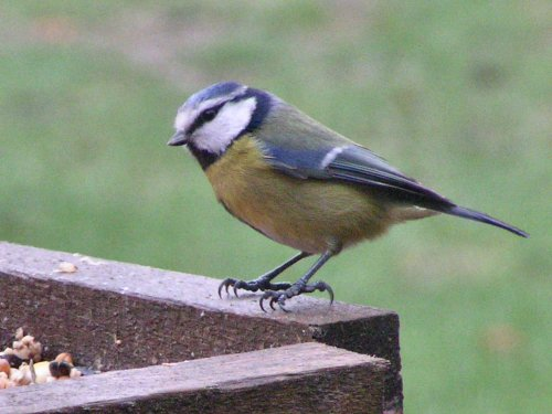 Blue tit on birdtable