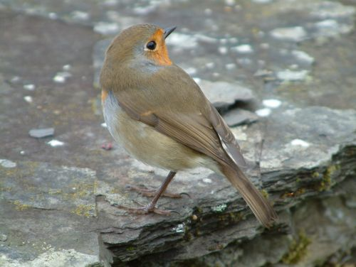 Approachable robin