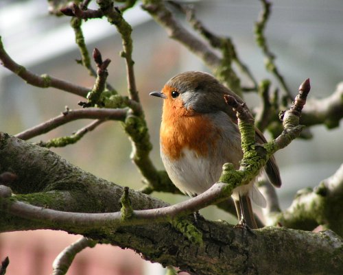 Robin in pear tree