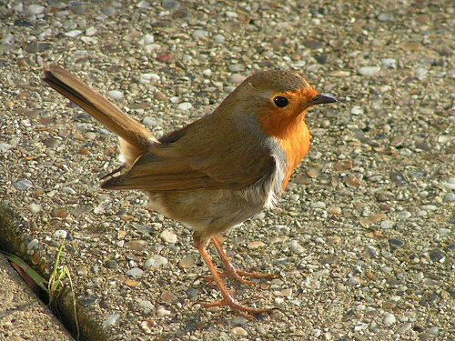 Robin in typical jaunty pose