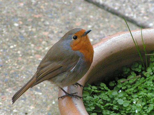 Robin on flower pot