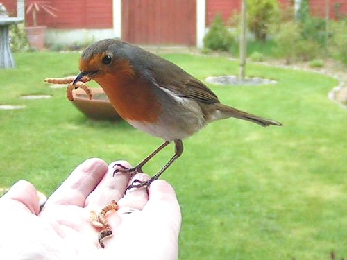 Robin in the hand
