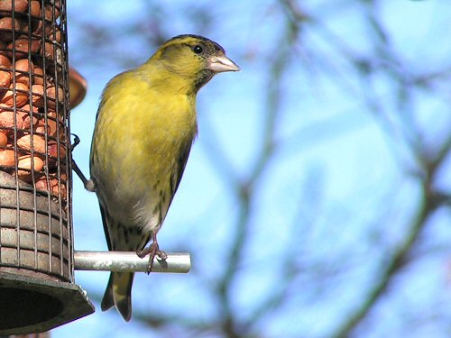 Siskin at peanut feeder