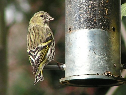 Close-up of female siskin at nyger feeder