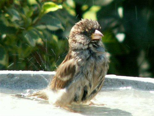 Female house sparrow bathing