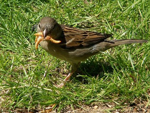 Female house sparrow with mealworms