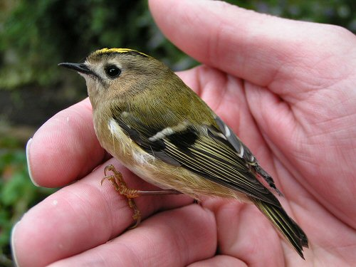 Goldcrest in the hand
