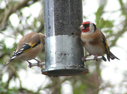 Goldfinches at Nyjer feeder