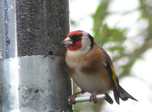 Goldfinch at Nyjer feeder