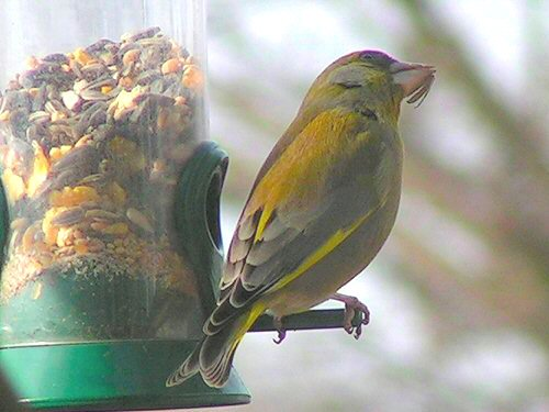 Male greenfinch at feeder