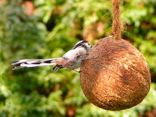 Long-tailed tit on coconut
