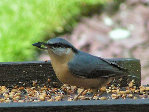 Nuthatch at bird table