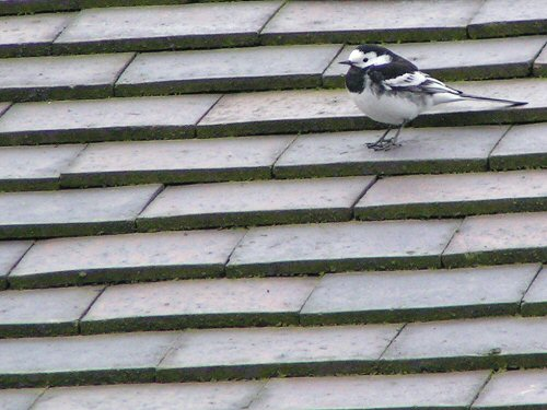 Pied wagtail on a rooftop