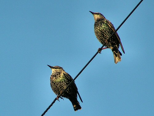 Starlings on telegraph wire