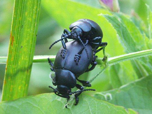 Bloody-nose beetles