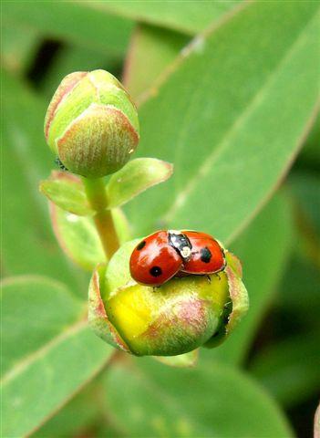 Two-spot ladybirds