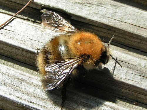 Gallery: Common Carder Bee