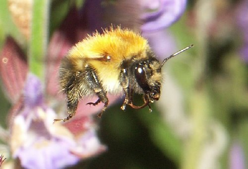 Common carder bee in flight