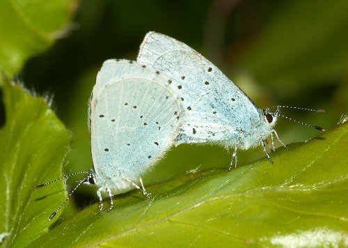 Mating holly blues