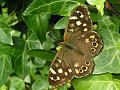 Speckled wood on ivay