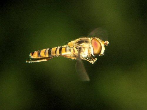 Marmalade fly in flight