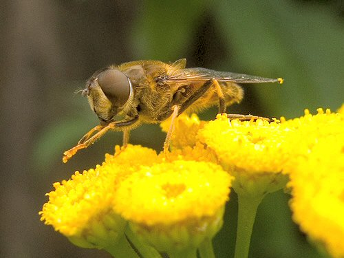 Dronefly on tansy