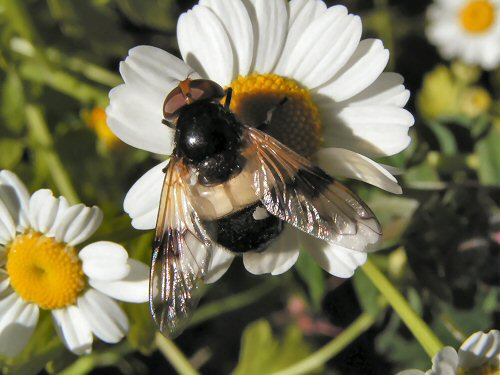 Hoverfly: Volucella pellucens