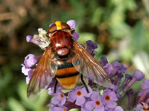 Volucella zonaria female