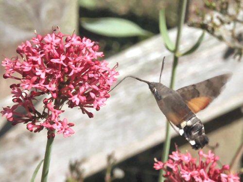 Hummingbird hawkmoth at red valerian