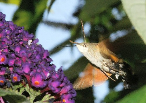Hummingbird hawkmoth at buddleia