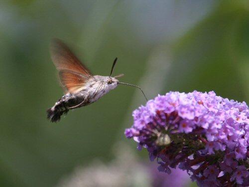 Hummingbird hawkmoth at a butterfly bush