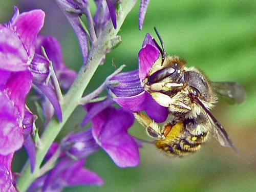 Female wool carder bee on purple toadflax