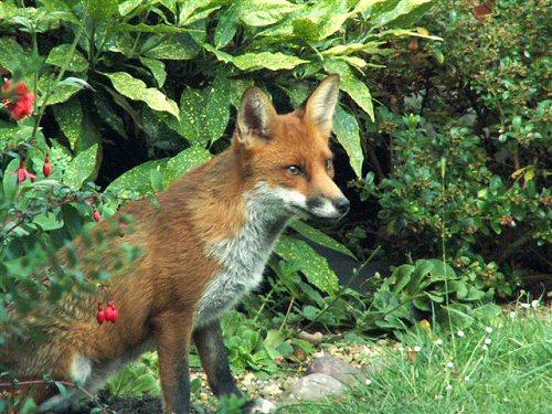 Fox in the border