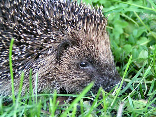 Hedgehog close-up