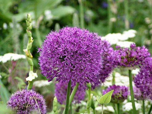 Allium from The Daihatsu Green Garden