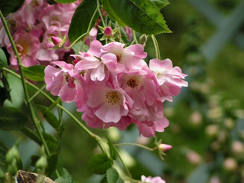 Rose from The Wildlife Trusts Gateway Garden