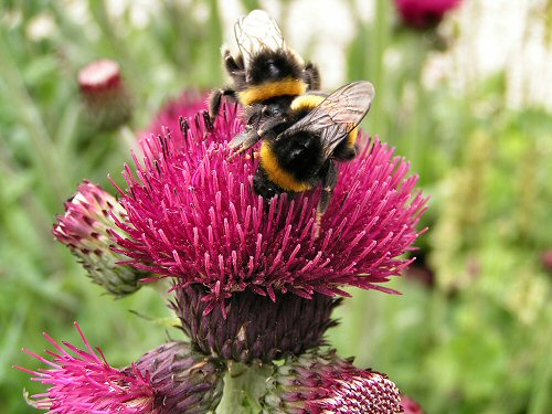 Wildlife Trusts LUSH Garden: Thistle and Bumblebees