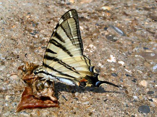 Scarce swallowtail drinking