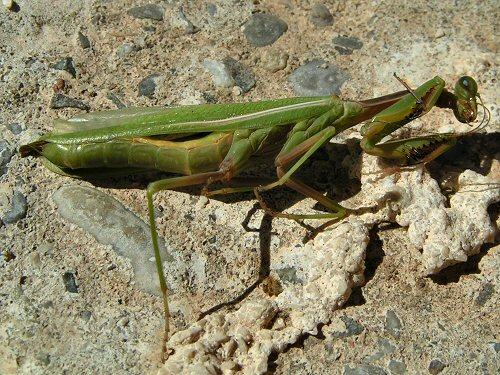 Dead praying mantis