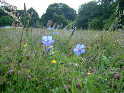Bluebell Cottage Meadow close-up III
