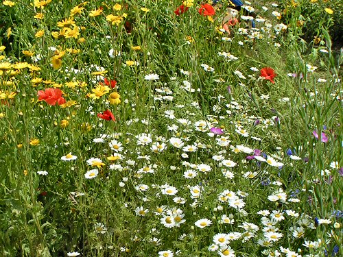 Cornfield annuals from The Garden of the Future