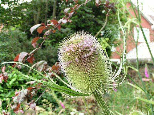 Teasle flowering