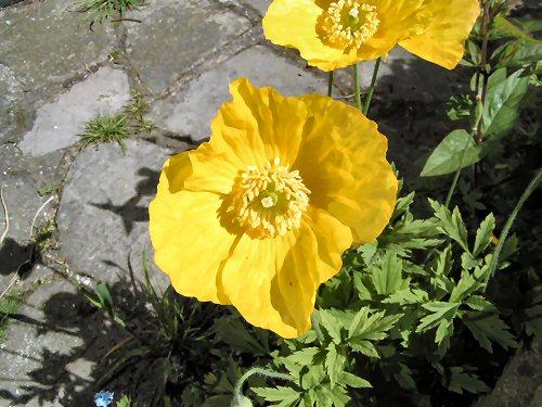 Yellow Welsh poppy