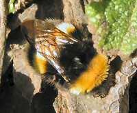 Queen bumble bee