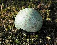 Blackbird eggshell