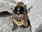 Bulb fly